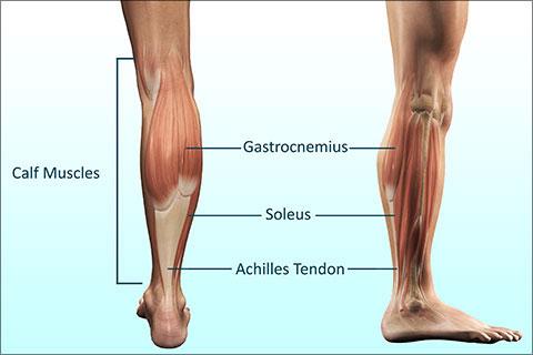 Calf-muscles-inner
